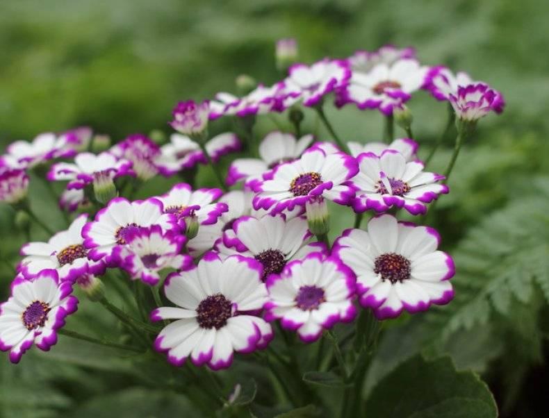 Цинерария – гармония серебристой листвы и ярких соцветий