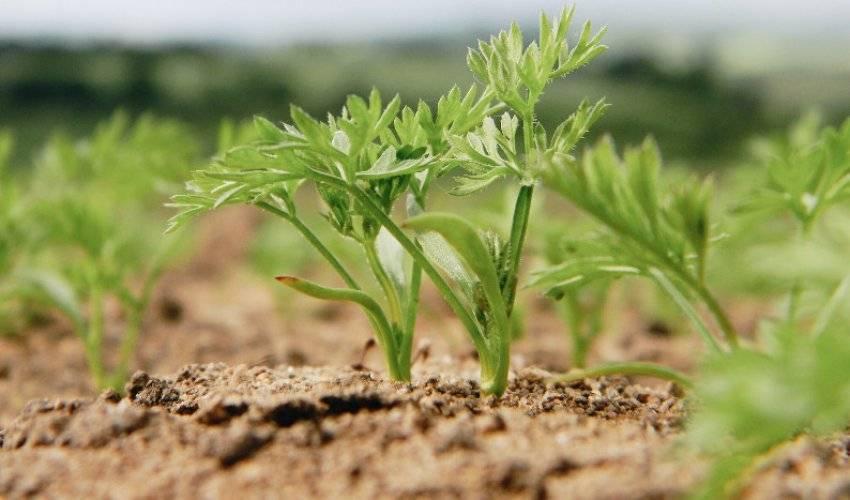 Морковь: полезные свойства овоща, польза и вред для взрослого и детского организма