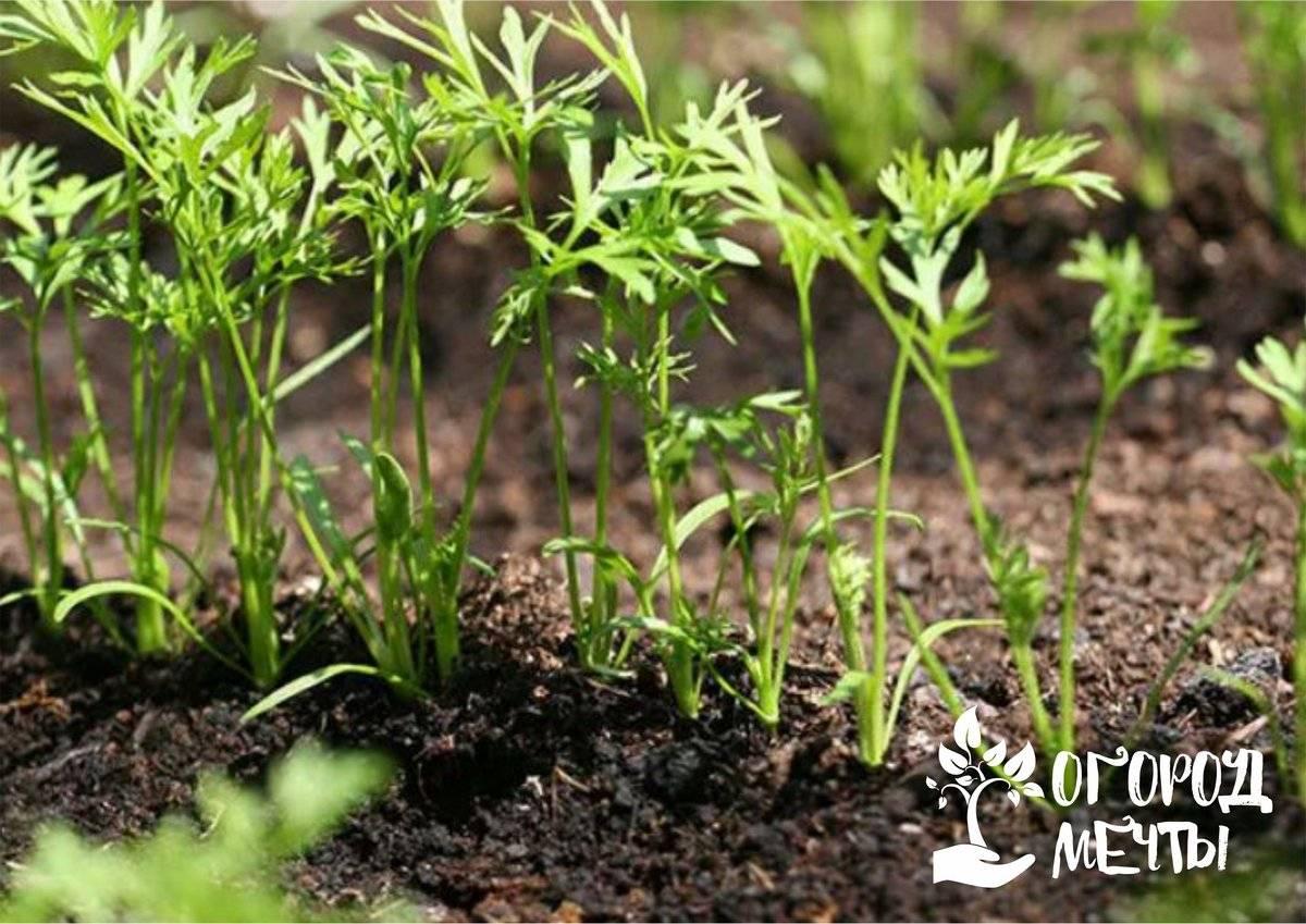 Пошаговая инструкция, как сеять семена, чтобы морковь быстро взошла