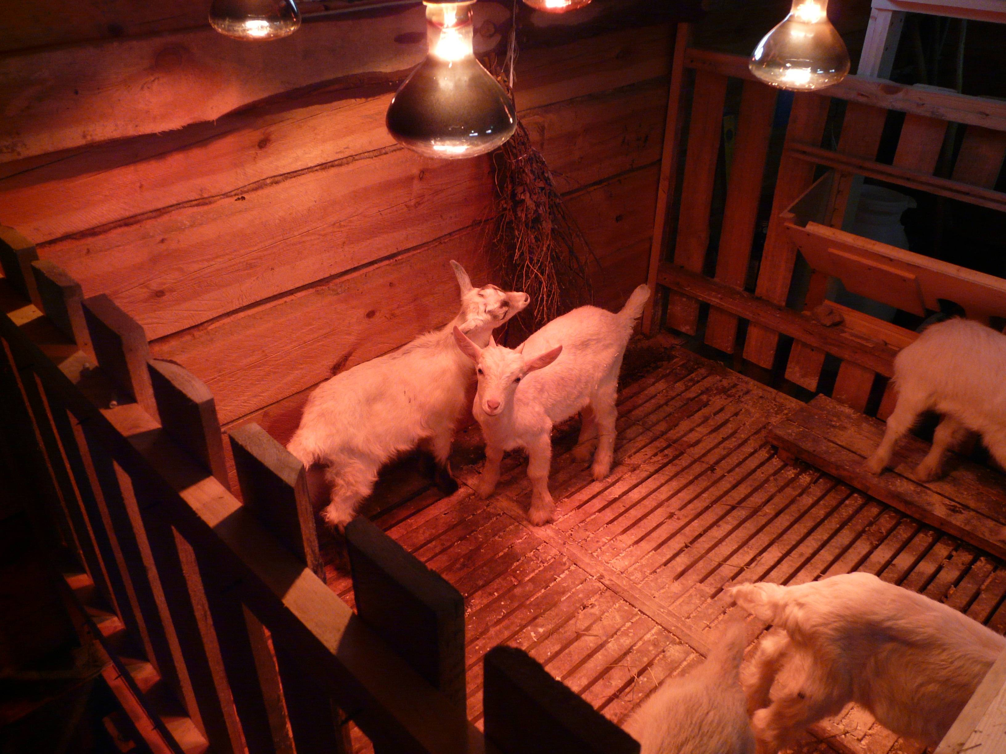 Обустройство козлятника своими руками, конструкция кормушки и поилки для коз