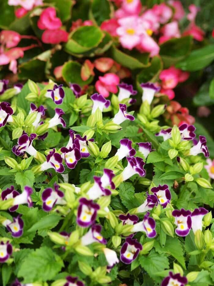 Торения (torenia): виды цветка, посадка и уход - молочай
