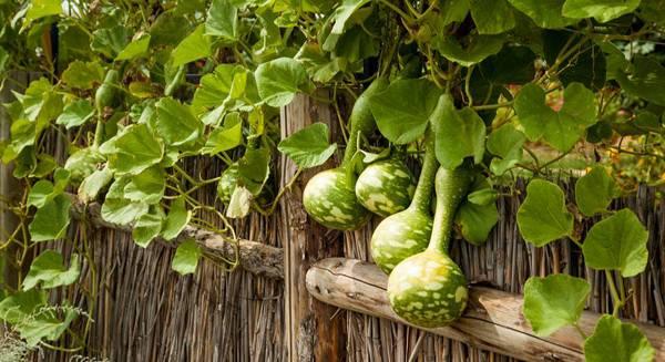 Как вырастить лагенарию у себя на участке | огородники