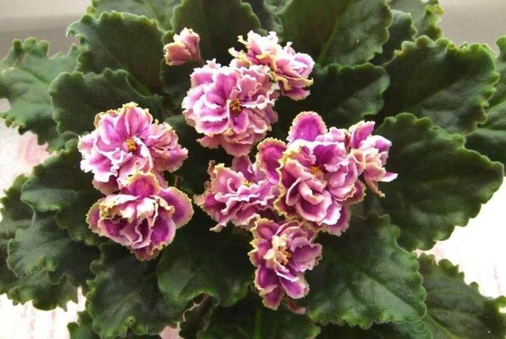 Томат каменный цветок f1: описание сорта, отзыв, фото