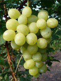 Виноград спонсор - сорта винограда | описание, советы, отзывы, фото и видео