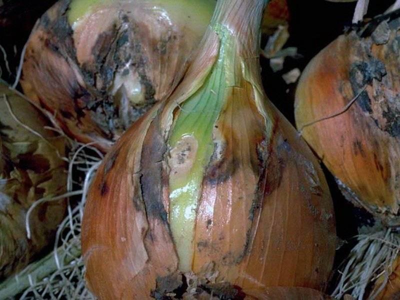 Болезни лука репчатого и их лечение, вредители лука