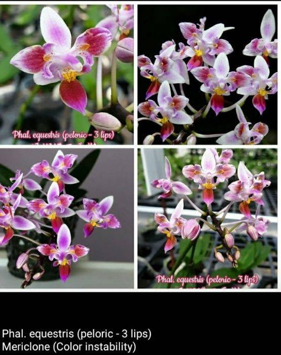 Эквестрии орхидея описание сорта. описание орхидеи фалонопсис эквестрис. внешнее описание, характеристика, расцветки
