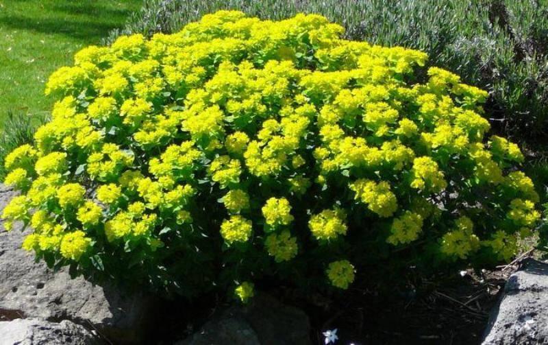Молочай садовый — многолетнее растение