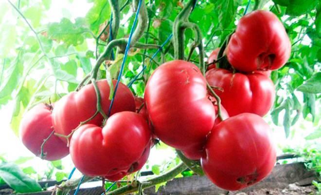 Томат розовый царь — описание сорта, фото, урожайность и отзывы садоводов
