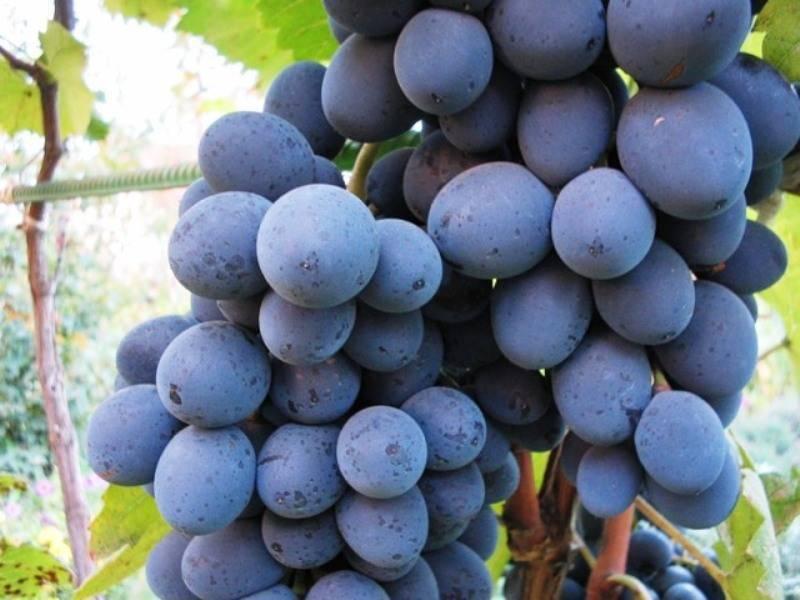 Виноград «рошфор»: описание сорта, фото, отзывы