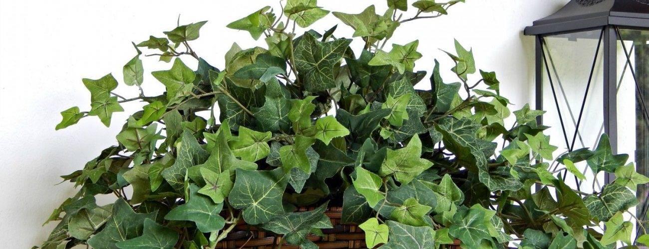 Растение плющ: фото, сорта, выращивание, посадка и уход