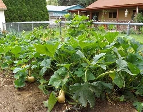 Как вырастить тыкву на даче в открытом грунте