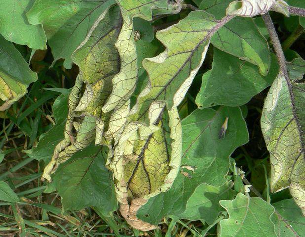 Что делать, если у баклажанов вянут, сохнут и желтеют листья и плоды?