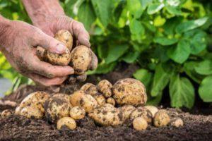 Картофель любава – описание сорта, фото, отзывы