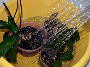 Просто о важном: как часто поливать в домашних условиях орхидею фаленопсис и как это делать правильно?