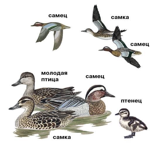 Дикие утки: описание и характеристики, виды, питание, размножение