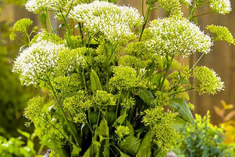 Цветок гелениум: посадка и уход в открытом грунте, виды и сорта с фото