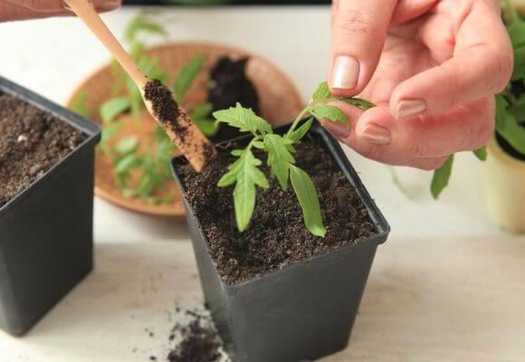 Болезни рассады томатов – описание с фотографиями и способы лечения, методы борьбы с вредителями