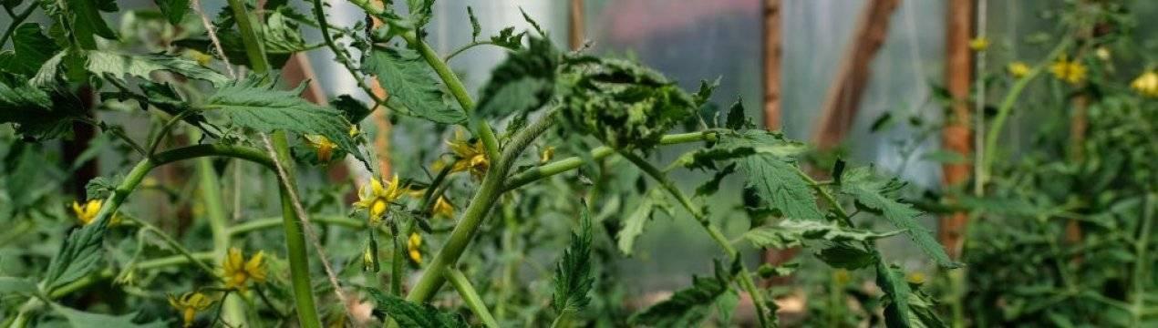 Почему помидоры в теплице не формируют плодовую завязь