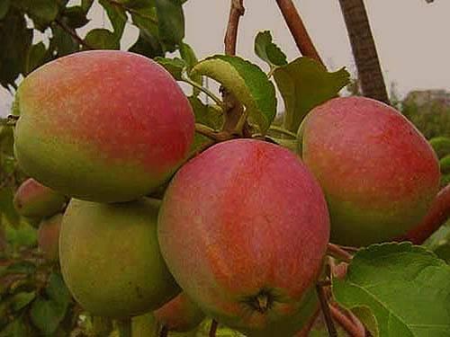 Сорт яблок аркадик описание, фото, отзывы