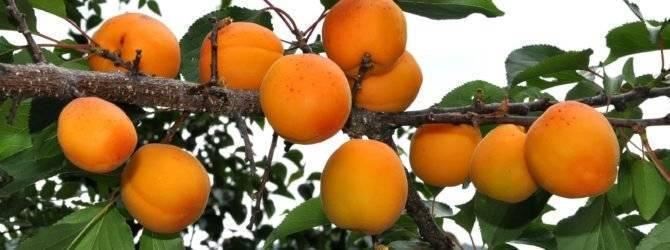 Описание сорта абрикоса триумф северный с фото