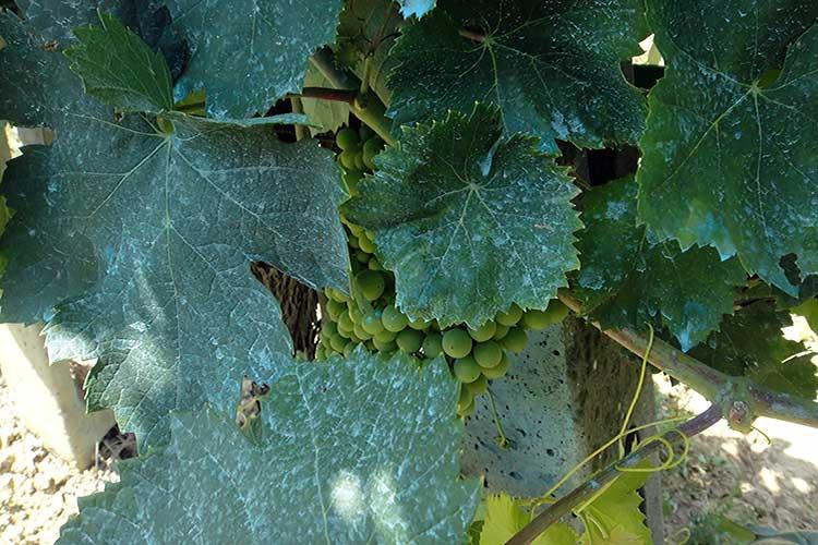 Обработка винограда медным купоросом: когда лучше проводить - осенью или весной, как приготовить раствор