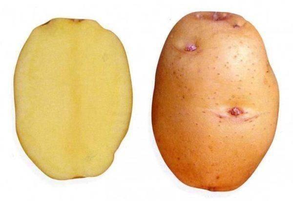 Посадка и уход за картофелем сорта аврора