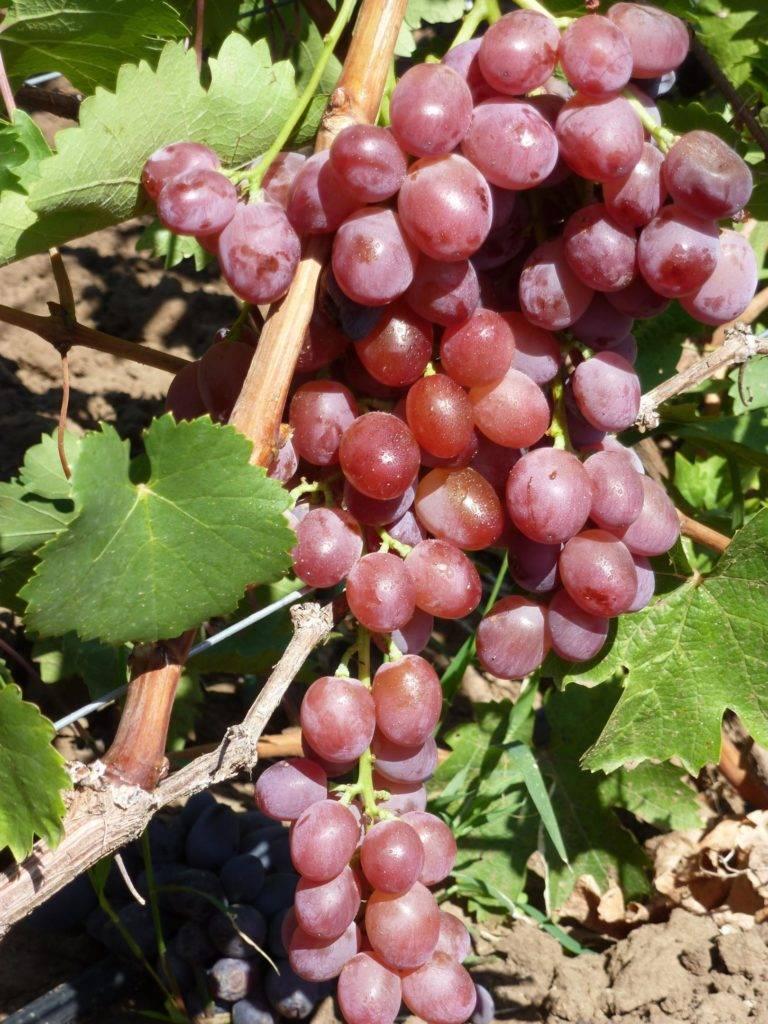 Виноград августин: описание сорта, фото, отзывы, посадка и уход