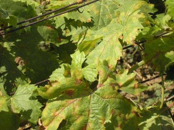Виноград дамские пальчики: характеристика и описание сорта
