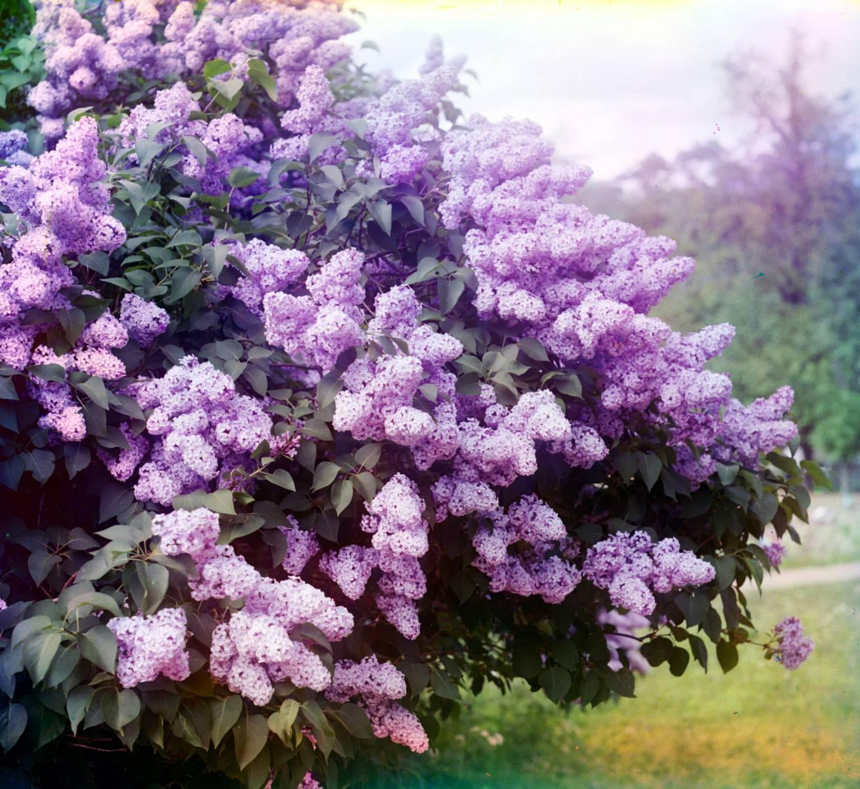 Сколько цветет сирень   виды, сорта и уход как основные факторы влияющие на время цветения сирени
