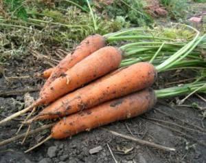 Какую вкусную и большую морковь лучше посадить: выбор сорта