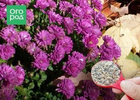 Уход за садовыми хризантемами осенью и подготовка их к зиме