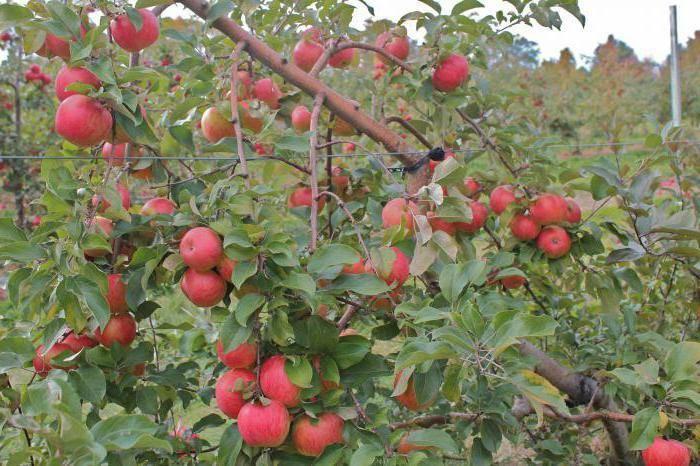 Яблоня приземленное: описание и характеристика сорта, чем полезны, посадка и уход