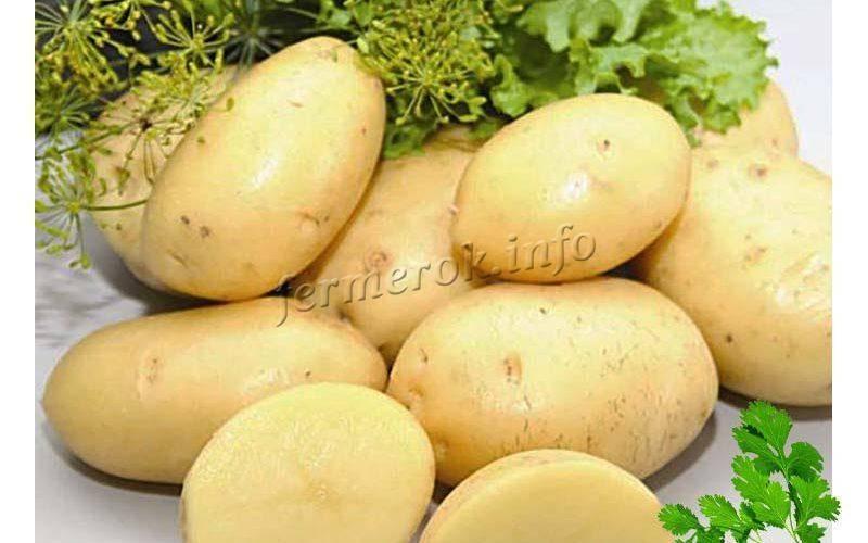 Картофель зекура – немецкое качество
