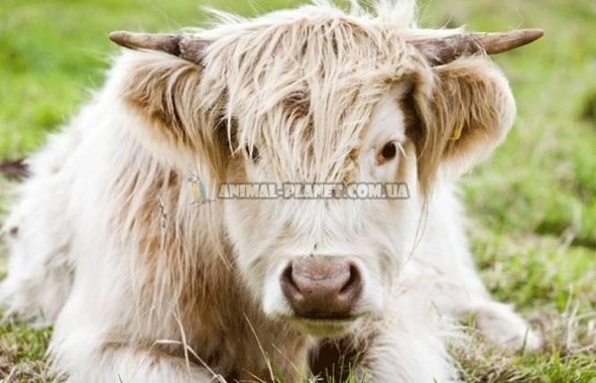 ᐉ мини-коровы: породы, фото, видео, цена, разведение - zooon.ru