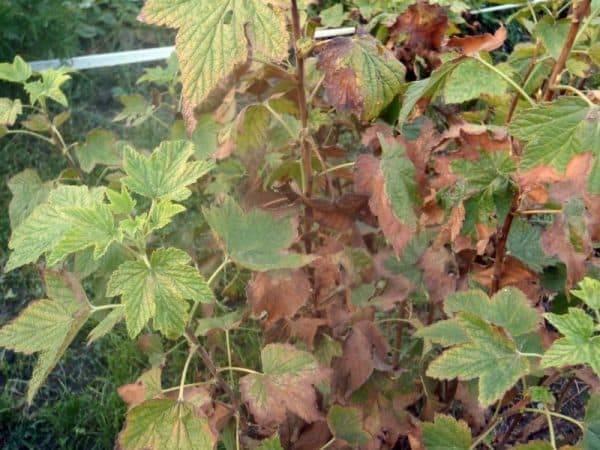 У смородины желтеют листья: что делать дачнику?