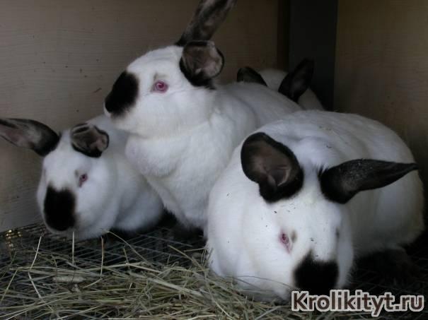 Разведение калифорнийских кроликов как бизнес: условия содержания и кормление