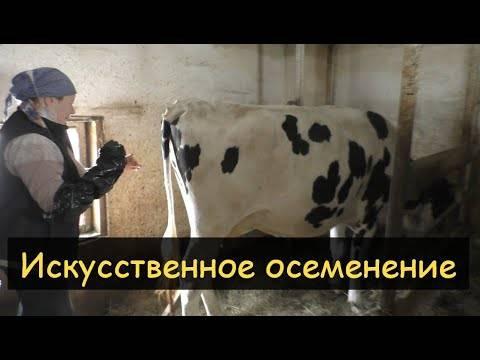 Семь основных правил для того, чтобы плодотворно осеменить корову