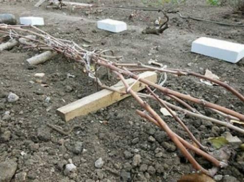 Как правильно утеплить виноград на зиму при какой температуре укрывать и укрывной материал