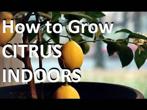 Грейпфрут — википедия. что такое грейпфрут