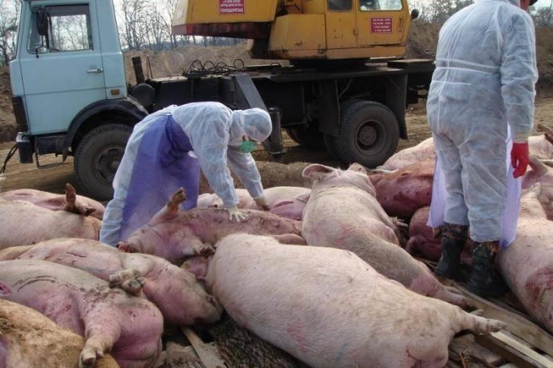 Россельхознадзор / памятка по африканской чуме свиней