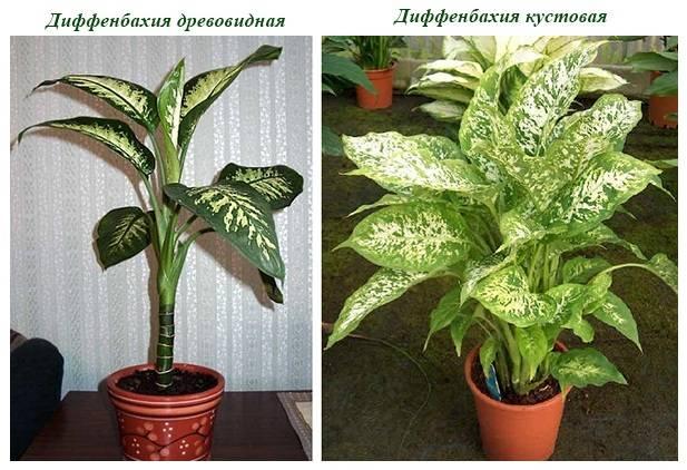Диффенбахия: как цветет, чем подкармливать, уход в домашних условиях, приметы - sadovnikam.ru