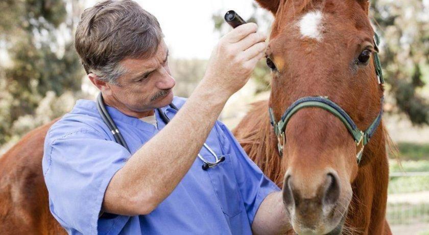 Мыт у лошади: причины, симптомы, лечение и описание болезни