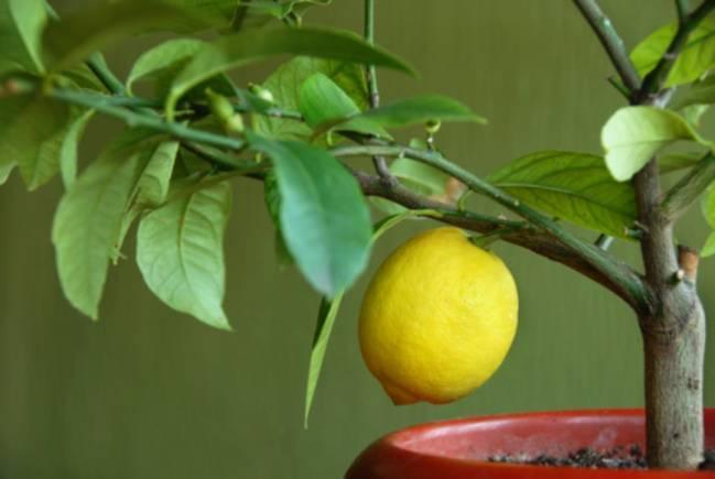 Цитрусовые растения - фото, советы, секреты, рекомендации