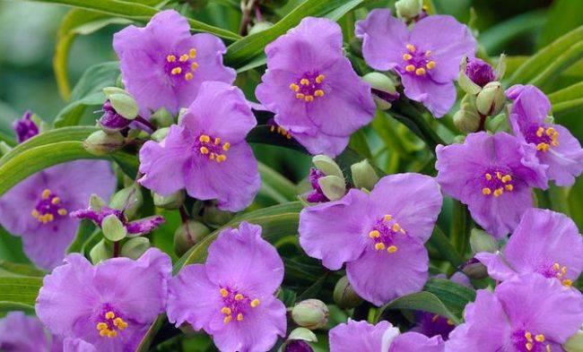 Традесканция андерсона: посадка и уход за растением