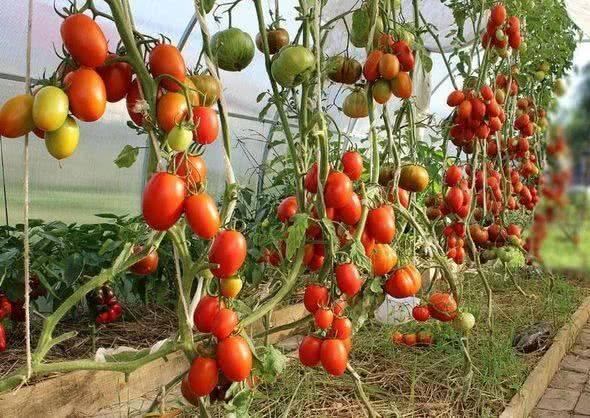 Рекомендации: как прищипывать помидоры в теплице
