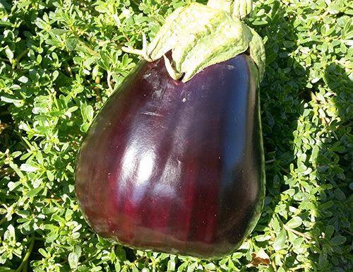 Марципан баклажан: описание, выращивание, уход, фото