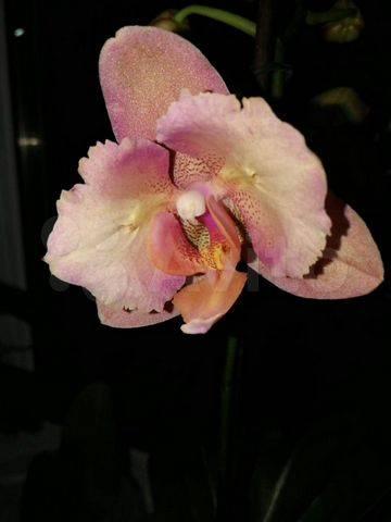 Орхидея фаленопсис легато: фото, описание, уход