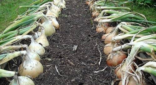Лук эксибишен: выращивание из семян когда сажать на рассаду фото видео