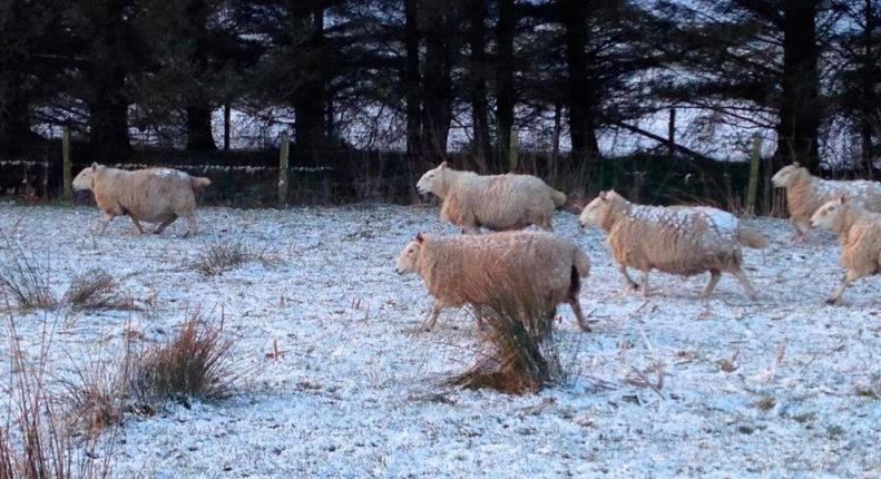 Содержание овец в зимний период: сколько нужно сена, чем кормить
