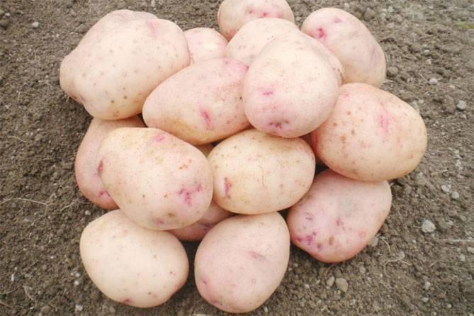 """Картофель """"аврора"""": описание сорта, отзывы, фото"""